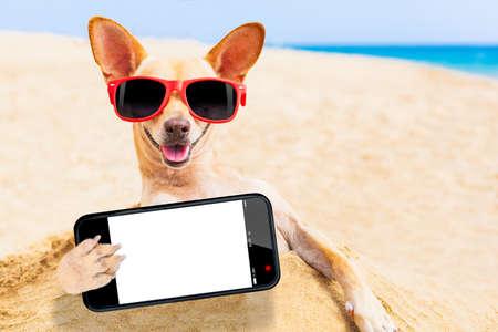 perro chihuahua: perro chihuahua en la playa con gafas de sol tomando un Autofoto con pantalla del smartphone vac�o blanco en blanco