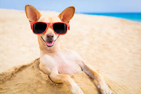 cool chihuahua dog at the beach wearing sunglasses Stok Fotoğraf
