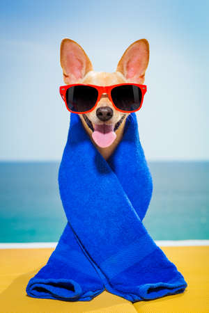 body grooming: chihuahua dog at the beach having a wellness spa treatment wearing red funny sunglasses Stock Photo