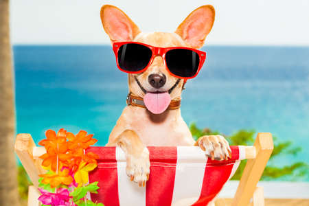 chihuahua dog at the beach having a a relaxing time on a hammock while sun tanning 스톡 콘텐츠