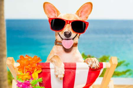 summer: cão chihuahua na praia que tem aa tempo relaxando em uma rede, enquanto bronzeamento