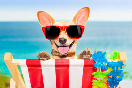 chihuahua dog at the beach having a a relaxing time on a hammock while sun tanning Archivio Fotografico