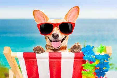 vacances d �t�: chien chihuahua � la plage ayant aa moment de d�tente sur un hamac tandis que le bronzage Banque d'images