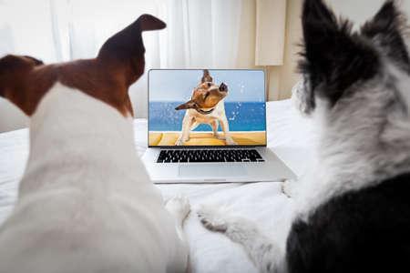 télé: couple de chiens regarder un film sur un ordinateur portable dans la chambre, rapprochés Banque d'images