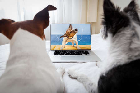 show dog: couple of dogs watching a movie  on a laptop computer in bedroom, close together Stock Photo