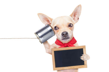 funny animals: chihuahua dog talking on the phone surprised, holding a blank blackboard, isolated on white background
