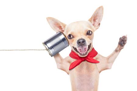 interacci�n: chihuahua perro que habla en el tel�fono sorprendido, riendo y alegre, aislado en fondo blanco
