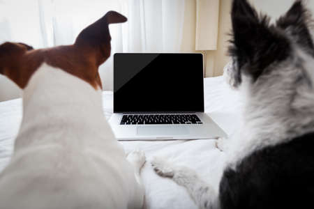 couple of dogs surfing or browsing the internet using a laptop computer pc, both looking into the screen