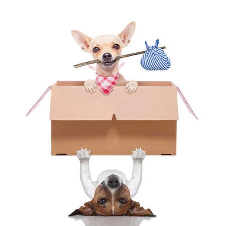 trasloco: cane sollevare una scatola movimento con un chihuahua pronto iniziare una nuova vita insieme Archivio Fotografico