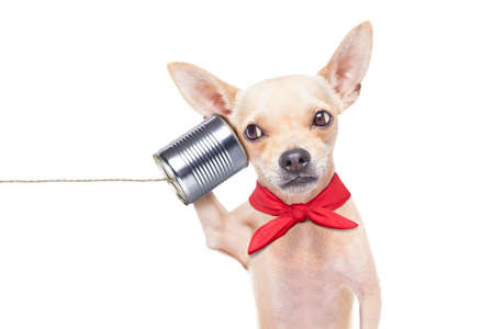 phone conversations: chihuahua dog talking on the phone surprised, isolated on white background