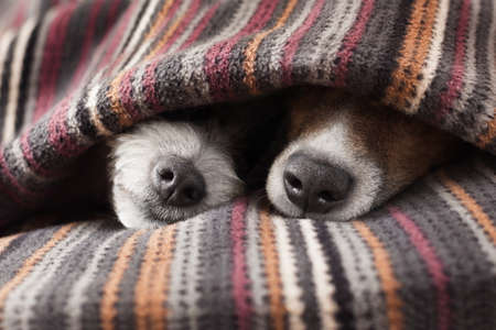 couple of dogs in love sleeping together under the blanket in bed photo