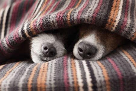 agotado: par de perros en el amor de dormir juntos bajo la manta en la cama