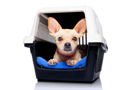 pet services: chihuahua dog inside a box or crate for animals, waiting for an owner, isolated on white background