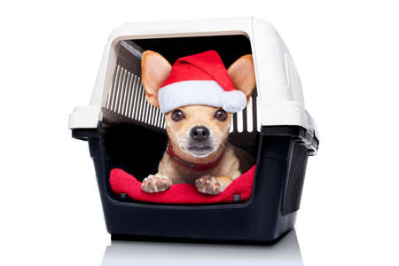 chihuahua dog inside a box or crate for animals, as christmas present,  isolated on white background photo