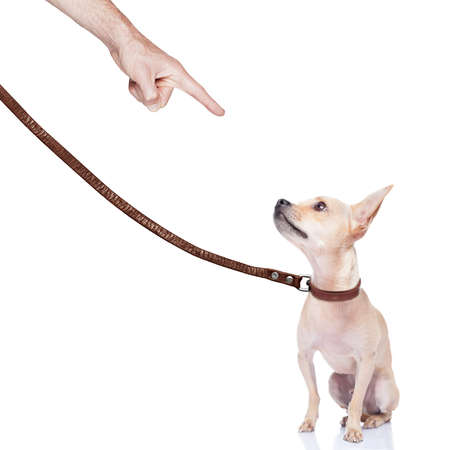 punished: chihuahua dog ready for a walk with owner , punished by the owner