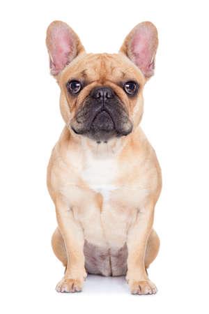 aislado: cervatillo bulldog francés sentado y descansando en el fondo aislado backgroung