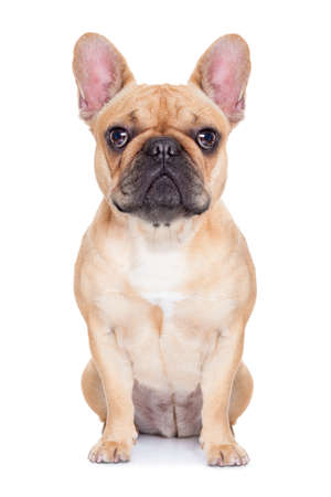 french bulldog: fawn french bulldog sitting and resting on white isolated backgroung Stock Photo