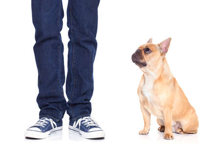 bad behavior: fawn bulldog dog and owner ready to go for a walk, or dog being punished  for a bad behavior, isoalted on white background