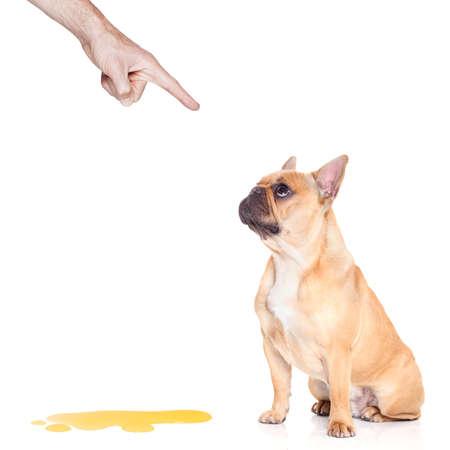 pis: perro bulldog siendo castigado por orinar o hacer pis en casa por su propietario, aislado en fondo blanco Foto de archivo