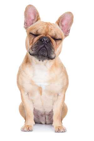 rest in peace: fawn french bulldog with closed eyes sitting and resting on white isolated background Stock Photo