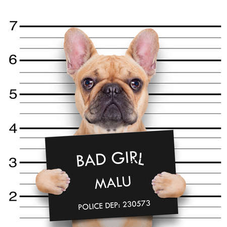 criminal  bulldog , at the police station , mugshot photo