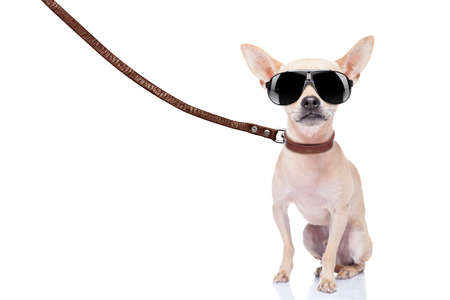 chihuahua dog ready for a walk with owner , with leather leash and cool sunglasses, isolated on white background