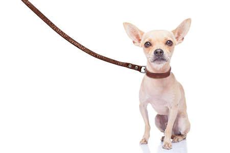 cane chihuahua: chihuahua cane pronto a fare una passeggiata con il proprietario, con guinzaglio di cuoio, isolato su sfondo bianco
