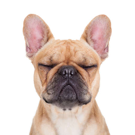 fawn french bulldog with closed eyes sitting and resting on white isolated background photo