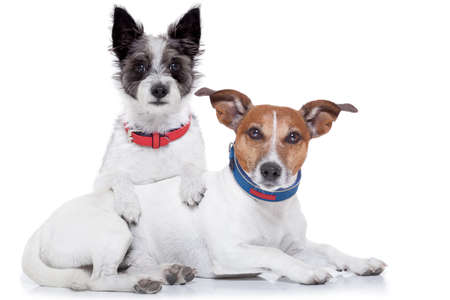 couple of dogs together hugging each other, isolated on white background.