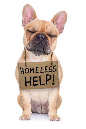 hanging around: perdido, bulldog franc�s sin hogar con cart�n colgando alrededor del cuello, aislados en fondo blanco, los ojos cerrados y mirando muy triste
