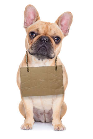 hanging around: lost,homeless french bulldog with cardboard hanging around neck, isolated on white background, looking so sad