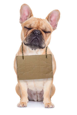 lost,homeless french bulldog with cardboard hanging around neck, isolated on white background, eyes closed and looking very sad photo