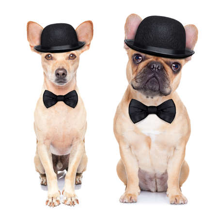 clown circus: comedian classic couple of dogs ,wearing a bowler hat ,black tie and mustache, isolated on white background