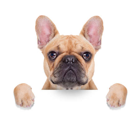 fawn french bulldog behind a white blank banner or placard, isolated on white background 스톡 콘텐츠