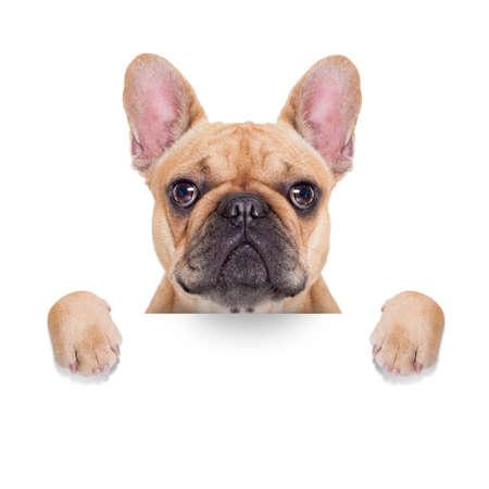 perro boxer: adular bulldog franc�s detr�s de una pancarta en blanco blanco o pancarta, aislados en fondo blanco