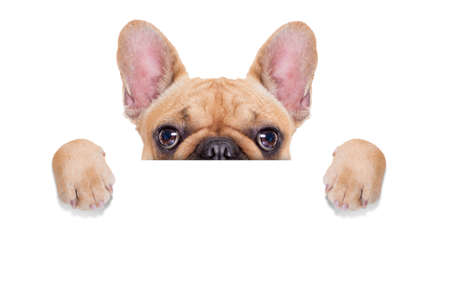 fawn french bulldog behind a white blank banner or placard, isolated on white background Foto de archivo