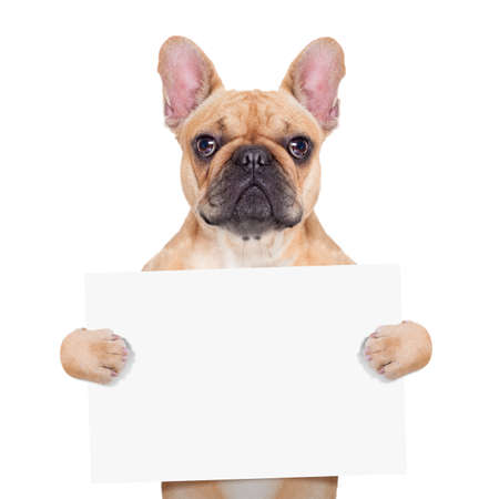 at sign: fawn french bulldog holding a white blank banner or placard, isolated on white background
