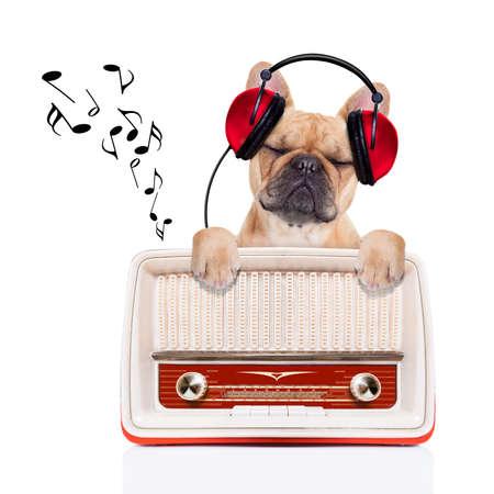 buldog: perro bulldog cervatillo escuchando música, mientras se relaja y disfruta del sonido de una vieja radio retro, aislado en fondo blanco