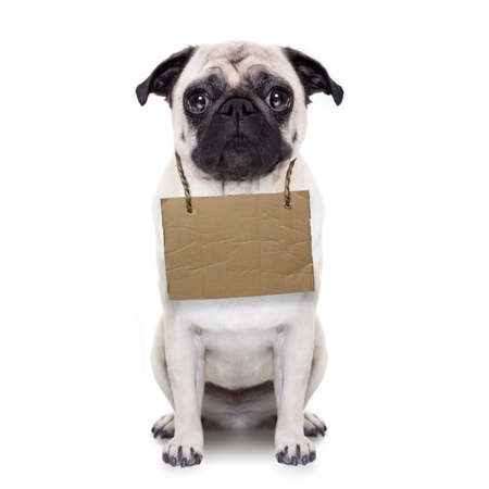 orphan: lost,homeless pug dog with cardboard hanging around neck, isolated on white background