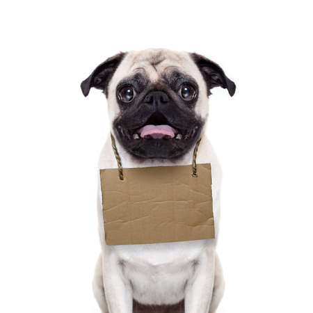 hanging around: lost,homeless pug dog with cardboard hanging around neck, isolated on white background