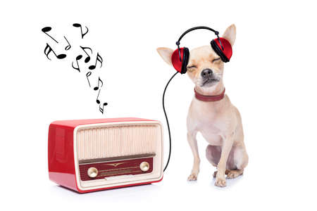 chihuahua dog listening music, while relaxing and enjoying the sound of an old retro radio, isolated on white background photo