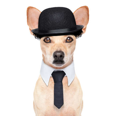 hardy: comedian classic dog terrier, wearing a bowler hat ,black tie and mustache, isolated on white background Stock Photo