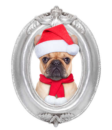 animal picture: french bulldog dog portrait as santa claus for christmas in a wooden retro old frame , isolated on white background