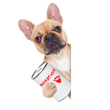 donations: french bulldog dog with a donation can , collecting money for  charity, isolated on white background