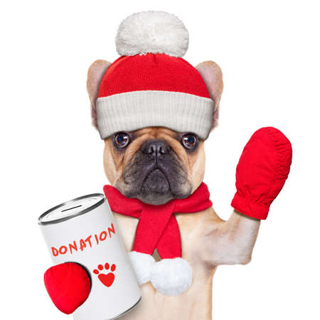 fundraising: french bulldog dog with a donation can , collecting money for  charity, as a winter edition , isolated on white background