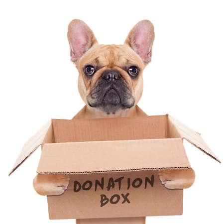franse bulldog hond die een donatie doos, geïsoleerd op witte achtergrond Stockfoto