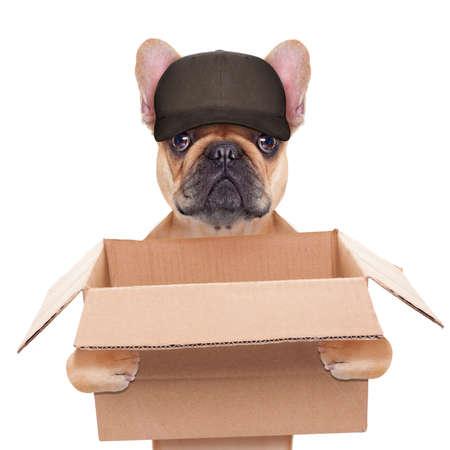 Französisch Bulldog hält einen Umzugskarton, helfen für eine Verlegung, isoliert auf weißem Hintergrund Standard-Bild