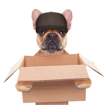 pet services: french bulldog holding a moving box, helping out for a relocation, isolated on white background