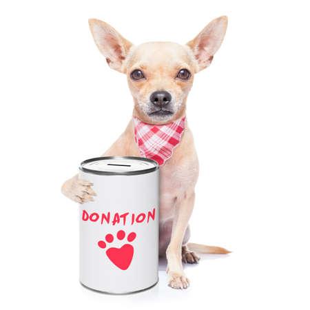 cane chihuahua: cane chihuahua con una donazione pu�, la raccolta di fondi per beneficenza, isolato su sfondo bianco