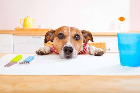 perro comiendo: jack russell perro sentado en la mesa pidiendo para comer, manteles incluidos Foto de archivo